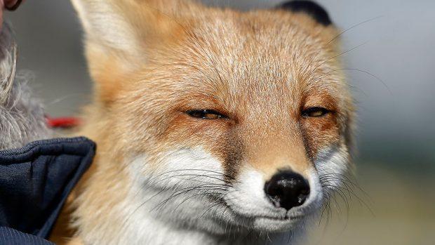 Подозревающая лиса