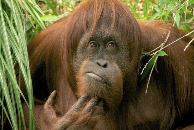 Задумчивый орангутан