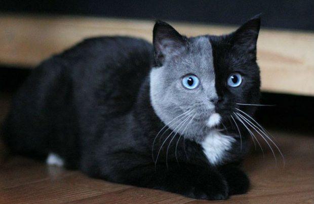 Кот с серо-чёрной мордочкой