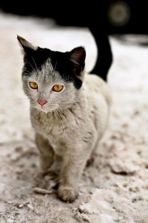 Кошка с чёрными ушками