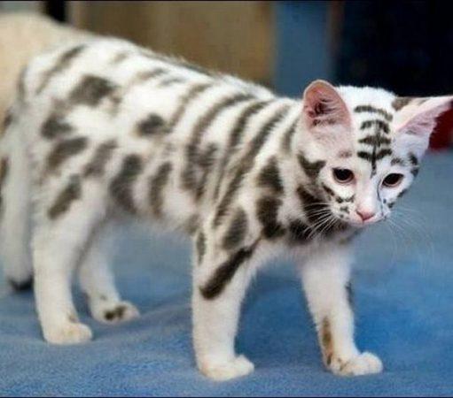 Кот с окрасом тигра