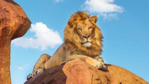 Лев сидит на холме