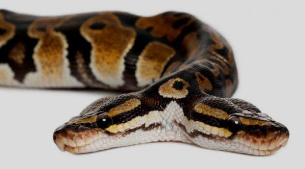 Змея с двумя головами