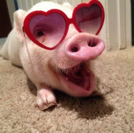 Фото забавной свиньи