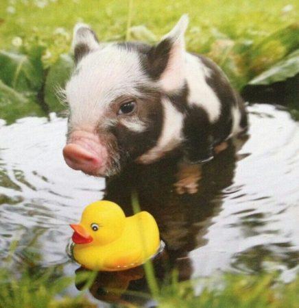 Милый свин