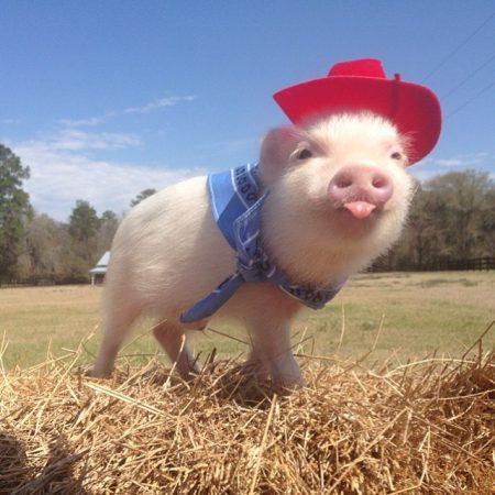 Забавная свинка