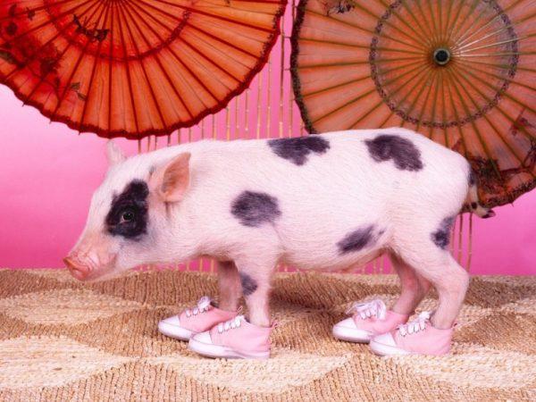 Модная свинка