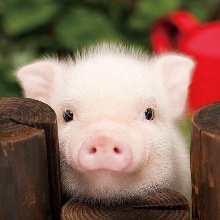 Фото милой свинки