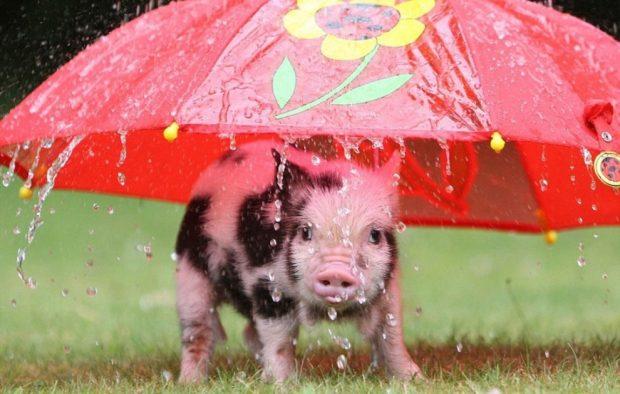 Свинка под зонтиком