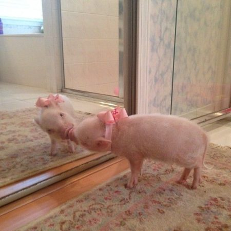 Свинка у зеркала