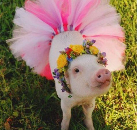 Гламурная свинка