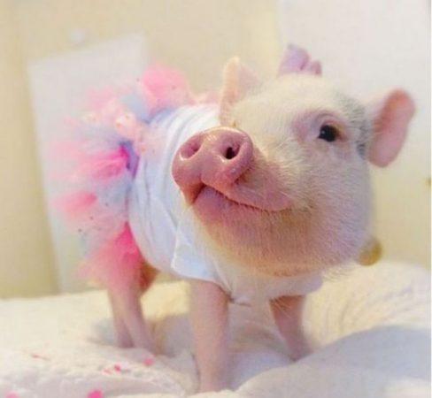 Фото забавной свинки