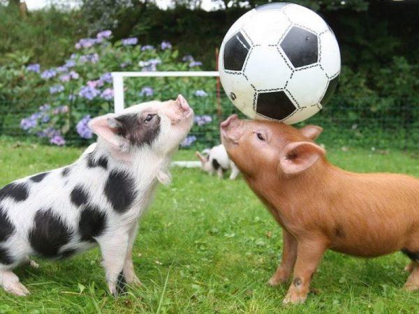 Забавные свиньи