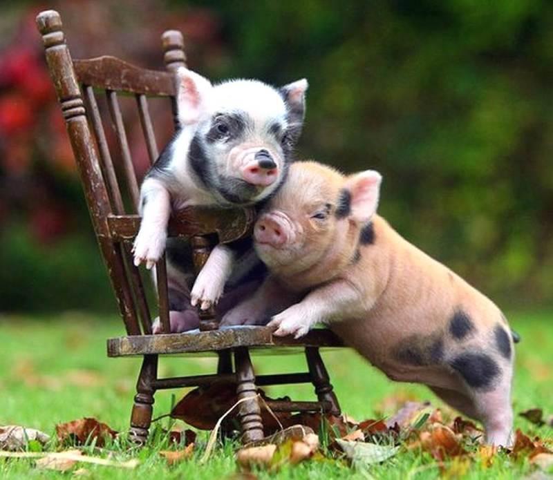 Фото забавных свинок