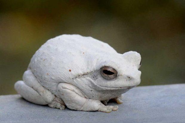 Лягушка-альбинос