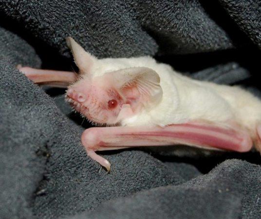 Летучая мышь-альбинос