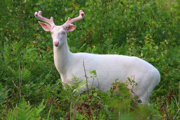 Олень-альбинос