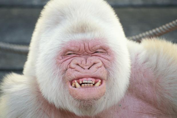 Горилла-альбинос