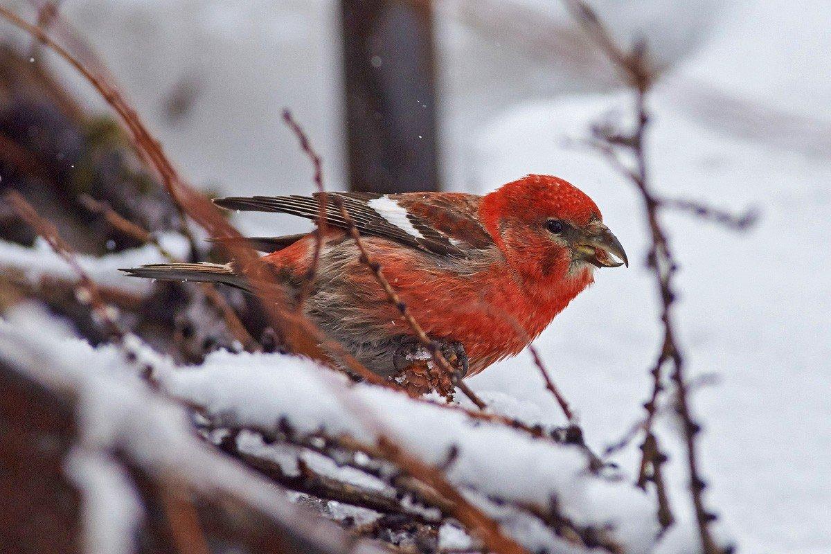 клест фото птицы зимой картинка все равно