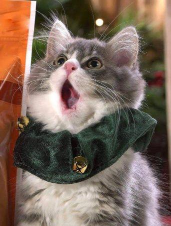 Поющий котик