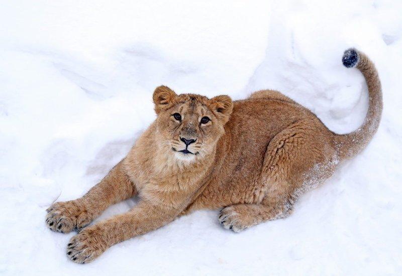 Львёнок на снегу