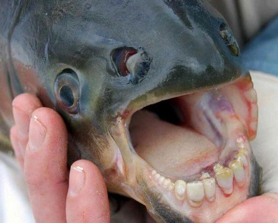 Паку − рыба, похожая на пришельца из других миров