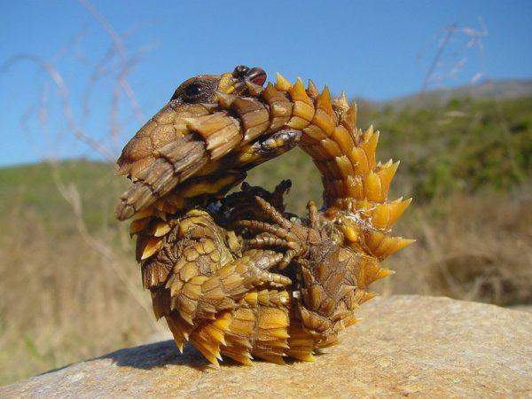 Тернистый дракон