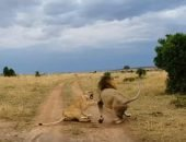 видео лев и львица
