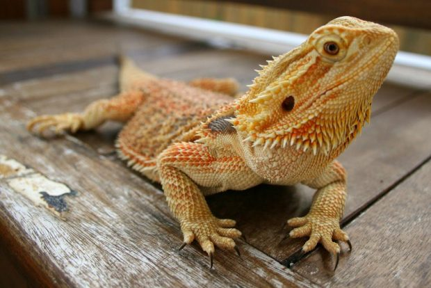 Бородавчатый дракон