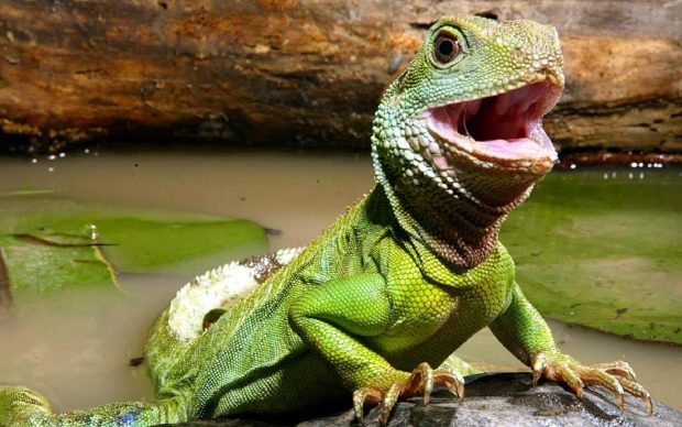 Китайский водяной дракон