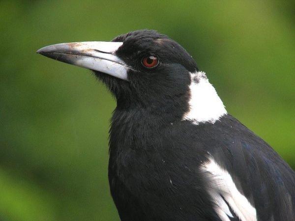 Ворона-свистун