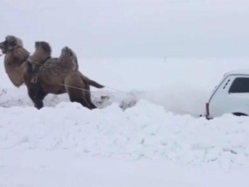 верблюд вытащил ниву