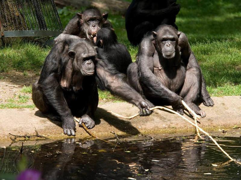 умные шимпанзе