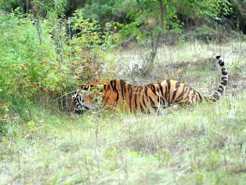 тигр дерево