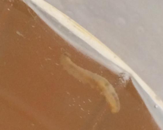 черви в компоте