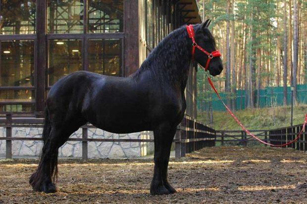 Фризская порода лошади