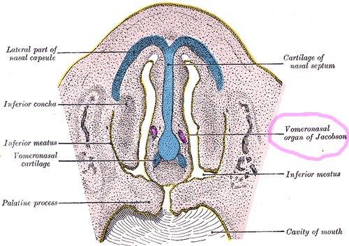 Сошниково-носовой орган