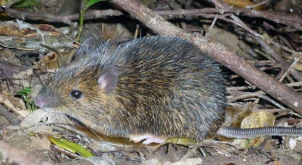 Колючая мышь
