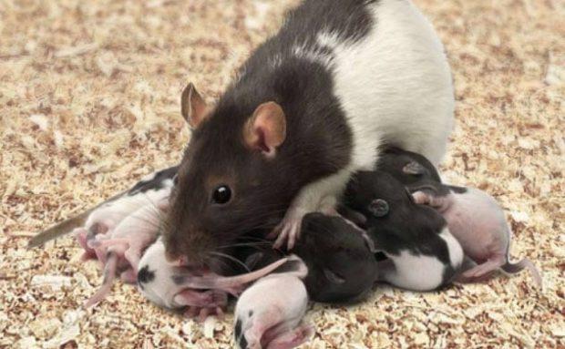 Крыса с потомством