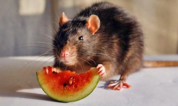 Крыса ест ягоду