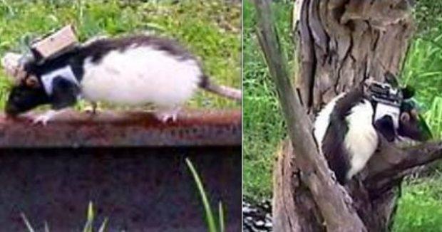 Крысы с датчиками