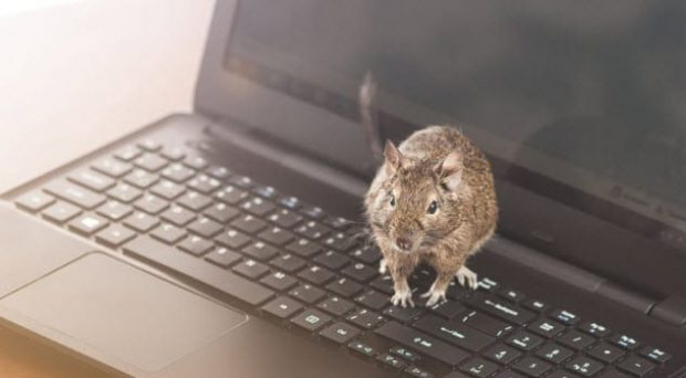 Крыса сидит на ноутбуке