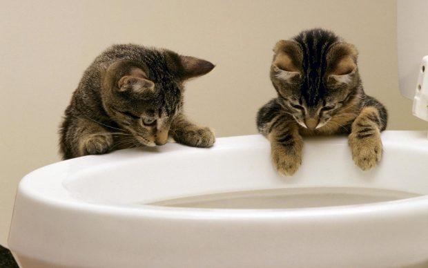 Два кота заглядывают в унитаз