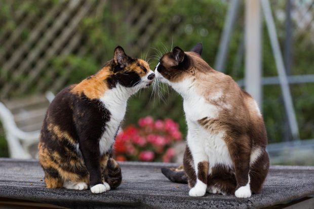 Две кошки обнюхивают друг друга